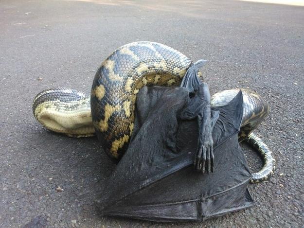 wąż zjada nietoperza